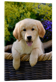 Acrylic print  Cute Golden Retriever Puppy - Katho Menden