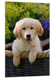 Foam board print  Cute Golden Retriever Puppy - Katho Menden