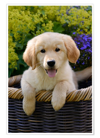 Premium poster  Cute Golden Retriever Puppy - Katho Menden