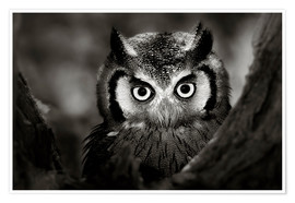 Premium poster  White-faced Owl perched in a tree - Johan Swanepoel