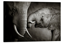 Aluminium print  Baby elephant interacting with Mother - Johan Swanepoel
