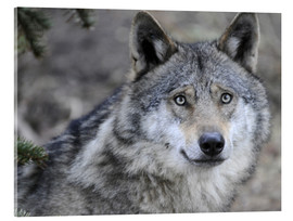 Acrylic print  My friend, the Wolf