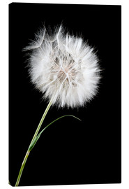 Canvas print  the big white dandelion