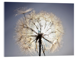 Acrylic print  Dandelion is ready to fly