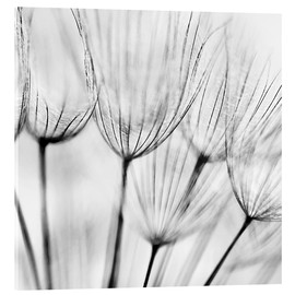 Acrylic print  Black and white dandelion
