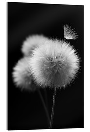 Acrylic print  Fluffy dandelions close-up