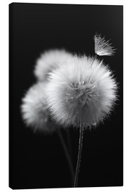 Canvas print  Fluffy dandelions close-up