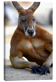 Canvas print  Relaxing kangaroo