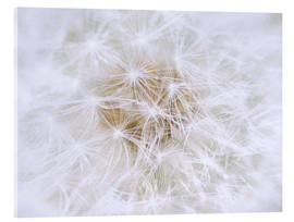 Acrylic print  Dandelion - white as snow