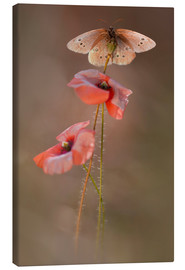 Canvas print  Butterfly on poppy flower - Jaroslaw Blaminsky