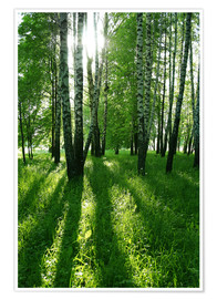 Premium poster birch trees with long shadows