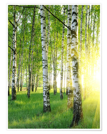 Premium poster  Birches in summer forest