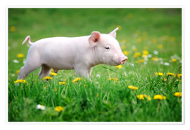 Premium poster  Piglet on a Spring Meadow