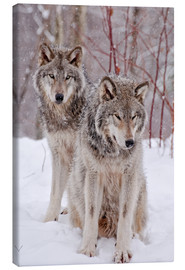 Canvas print  Wolf couple in snow
