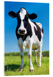 Acrylic print  Cow - Black and White