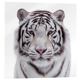 Acrylic print  The white tiger