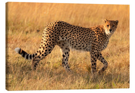 Canvas print  Cheetah looking for its prey