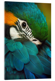 Acrylic print  Parrot in Plumage