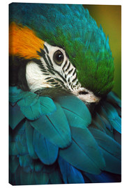 Canvas print  Parrot in plumage