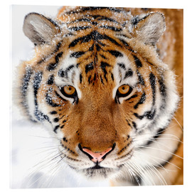 Acrylic print  Siberian tiger in the snow