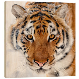 Wood print  Siberian tiger in the snow