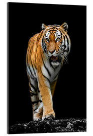 Acrylic print  Male tiger