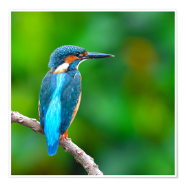 Premium poster  Kingfisher in blue turquoise