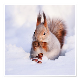 Premium poster  Squirrel in the snow