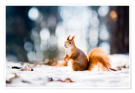 Premium poster  Squirrel looking for its nut