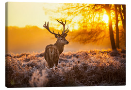 Canvas print  Red Deer in Morning Sun