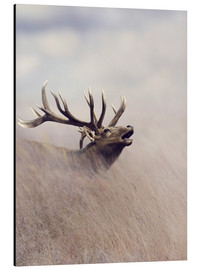Aluminium print  The call of the stag
