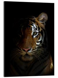 Acrylic print  Bengal tiger in the dark night