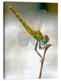 Canvas print  dragon-fly