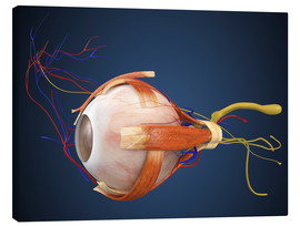 Canvas print  Human eye with muscles and circulatory system.
