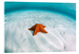 Acrylic print  A West Indian starfish on the seafloor in Turneffe Atoll, Belize. - Ethan Daniels