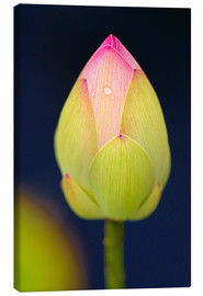 Canvas print  Bud of the lotus - Bernhard Kaiser