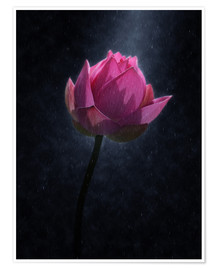 Premium poster  Lotus flower in the rain