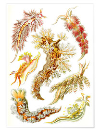 Premium poster  Nudibranches, artistic forms of nature, design 43. - Ernst Haeckel