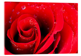 Acrylic print  Red rose bloom with dew drops