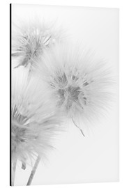 Aluminium print  Fluffy dandelions on white background