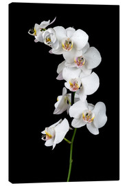 Canvas print  White orchid on a black background