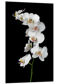 Foam board print  White orchid on a black background