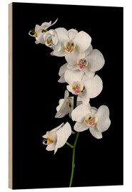 Wood print  White orchid on a black background