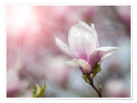 Premium poster  Magnolia flower in sunlight