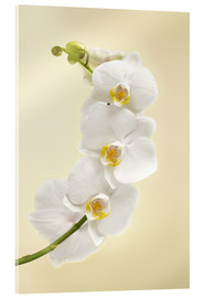 Acrylic print  White orchid