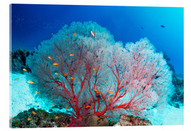 Acrylic print  Melithaea sea fan and lyretail anthias