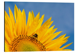 Aluminium print  Sunflower against blue sky - Edith Albuschat