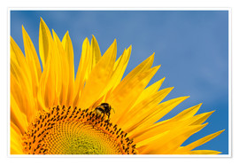 Premium poster  Sunflower against blue sky - Edith Albuschat