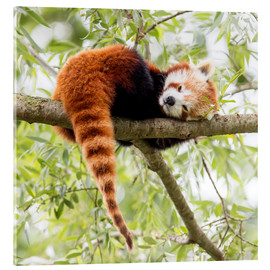 Acrylic print  Red panda resting in a tree