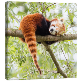 Canvas print  Red panda resting in a tree
